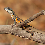 An Eyed Butterfly lizard, leiolepis ocellata, at Huai Kha Kaeng Wildlife Sanctuary in Thailand.