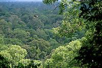 A rhinoceros hornbill (Buceros rhinoceros) soars above a lowland rain forest canopy.