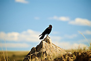Crow on a rock in the Badlands of Theodor Roosevelt National Park, North Dakota