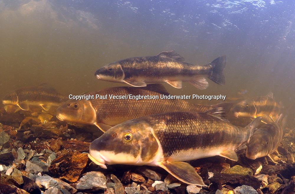 School of White Suckers<br /> <br /> Paul Vecsei/Engbretson Underwater Photography