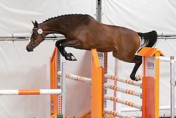 055 - El Cate<br /> KWPN Paardendagen - Ermelo 2012<br /> © Dirk Caremans