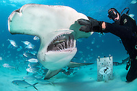Mike Black hand feeds a Great Hammerhead Shark<br /> <br /> Shot in Bimini, Bahamas