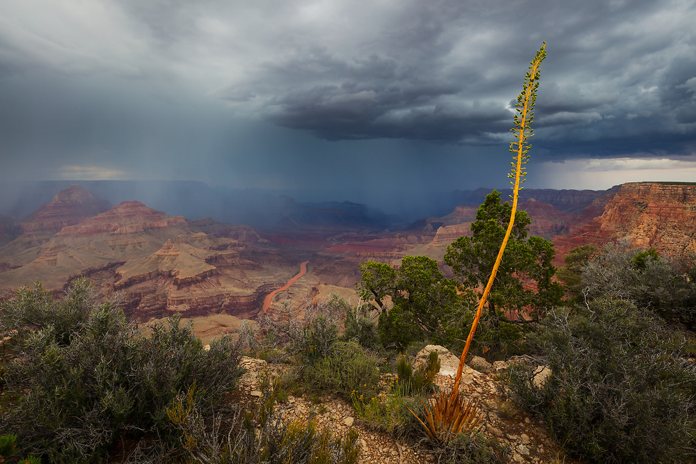 Rain falls from monsoon storms into the Grand Canyon. Recent flash floods have caused the Colorado River to turn to it's more natural redish-brown color. From Zuni Point on the South Rim of Grand Canyon National Park.