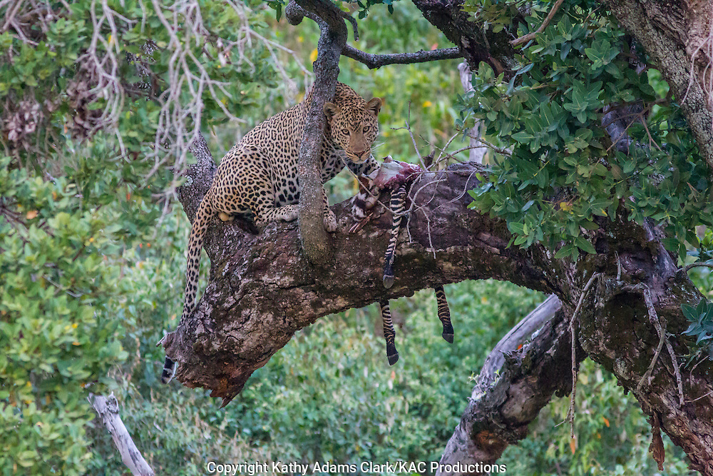 Leopard, Panthera pardus, feeding on a zebra in a tree, near the Buffalo Luxury Camp, in northern Tanzania.