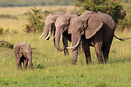 Three female Elephants and a cub are grazing a green grass with a soft light of the afternoon at Mara Triangle in Masai Mara National Reserve Kenya<br /> photo credit by: &copy;Claudio Zamagni