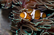 """""""Nemo"""" or Clownfish (Amphiprion ocellaris) among the tentacles of a host-sea anemone (Heteractis crispa)."""