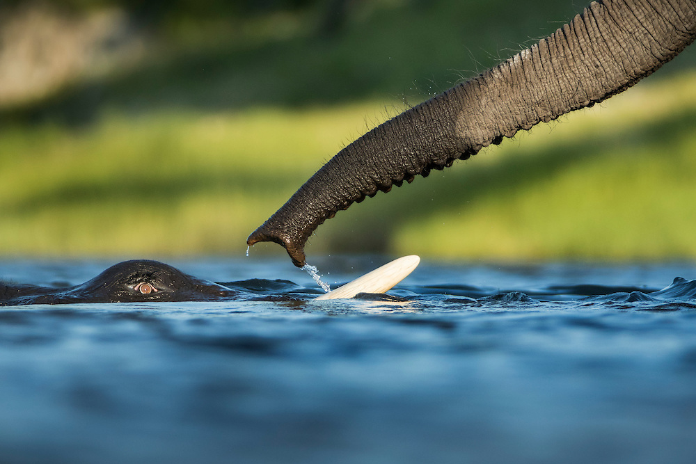 Africa, Botswana, Chobe National Park, African Elephants (Loxodonta africana) swimming submerged in Chobe River on summer afternoon