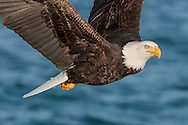 Bald eagle in flight over ocean water, passing closely, © 2005 David A. Ponton