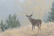 White-tailed Buck in Morning Fog, Missoula, Montana