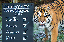 © Licensed to London News Pictures. 03/01/2017. London, UK. Jae Jae, a Sumatran Tiger, stands next to the stocktake board at the London Zoo annual stocktake. Photo credit: Rob Pinney/LNP