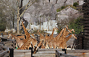 West African giraffes (Giraffa camelopardalis) in their temporary outdoor enclosure with the Grand Rocher or Great Rock in the background, in the Zone Sahel-Soudan at the new Parc Zoologique de Paris or Zoo de Vincennes, (Zoological Gardens of Paris or Vincennes Zoo), which reopened April 2014, part of the Musee National d'Histoire Naturelle (National Museum of Natural History), 12th arrondissement, Paris, France. Picture by Manuel Cohen