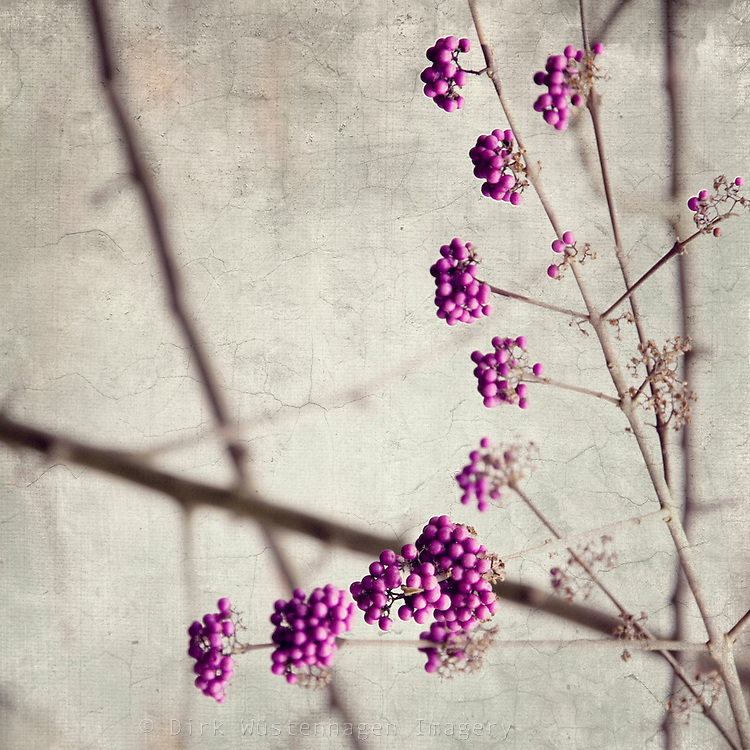 Twigs with callicarpa berries. Texturized photo.<br />