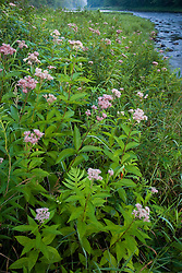 Joe-pye weed a.k.a. Trumpetweed, Eupatorium fistulosum, on the banks of the West River in Jamaica, Vermont.