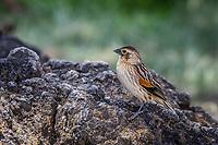 Sparrow or Weaver?