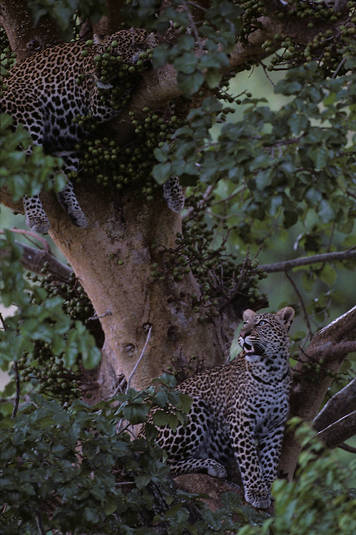 Africa, Kenya, Masai Mara Game Reserve, Adolescent Male Leopard (Panthera pardus) resting with mother in tree branches
