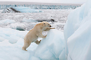We were in a small icebreaker ship traveling off the Austfonna glacier in Nordaustlandet, Svalbard when our guide Rinie van Muers spotted a tiny bit of yellow in the midst of all the icebergs.  None of the passengers could spot the bear until we were quite a ways into the ice.  The bear was interested in us and provided quite a show.  In this photo she is climbing up an iceberg.  At the top of the iceberg she was checking us out.  We imagined she was calculating how to get on board.<br /> IUCN Red List: Vunerable<br /> Processing:  Crop, Clarity, Tone, Vibrance, Sharpening