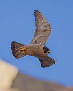 Peregrine falcon in fast diving flight along her eyrie cliff, warning researcher away from recently fledged juvenile. © 2011 David A. Ponton