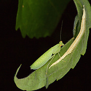 Tropidomantis tenera is a species of praying mantis found in South East Asia. Female with egg sac (ootheca)