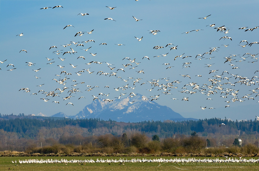 Flocks of Snow Geese (Chen caerulescens) in Skagit Valley Washington
