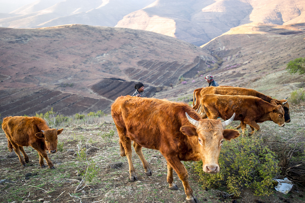 Cattle and local children wandering on the mountainside in Lesotho, Africa