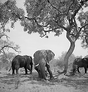 An elephant stands with a lean under a tree, -black and white - Okavango Delta, Botswana, Africa