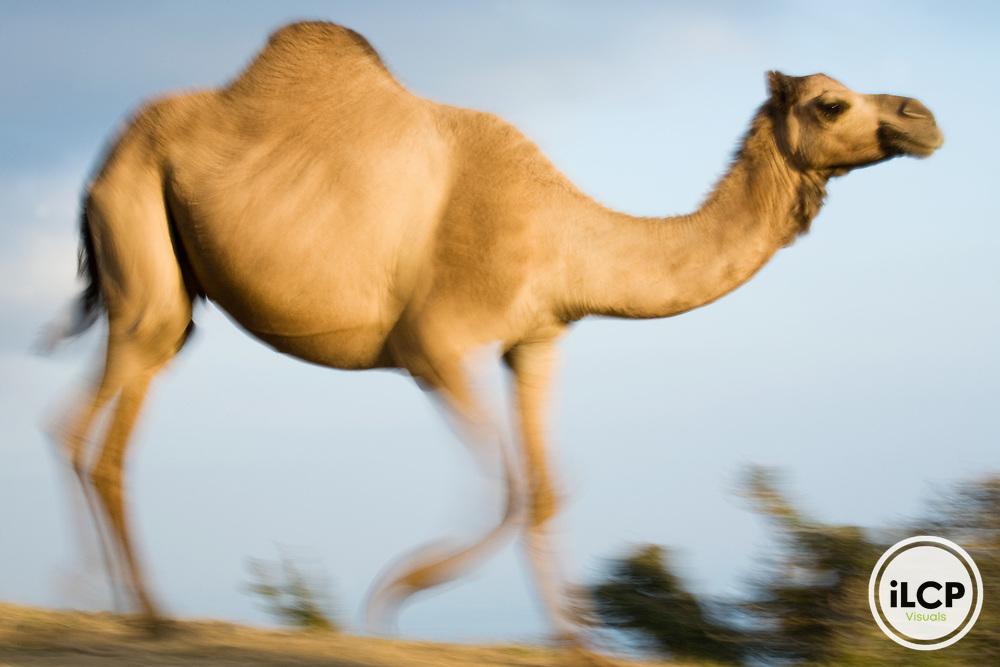 Dromedary (Camelus dromedarius) camel running, Hawf Protected Area, Yemen