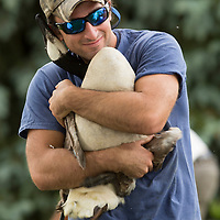 Volunteer Gavin Yates struggles to hold a Canada goose before it was banded by group of volunteers, led by members of the Kentucky Department of Fish and Wildlife Resources, at Jacobson Park in Lexington, Ky., on Tuesday July 1, 2014. Around 475 geese were banded at the park and at a farm in Fayette County as part of a population study. Under the direction of the Department of Fish and Wildlife, each year at this time in various locations around the state, when the geese are molting and unable to fly, they are rounded up, banded, their genders identified and quickly released. Photo by David Stephenson