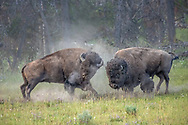 When I saw these two evenly matched bison bulls begin swinging their heads from side to side, I sensed a battle was imminent. They spent the next three minutes with horns locked, using all their strength to shove the other down a grassy hillside. The bulls began to tire, but neither wanted to admit defeat. Finally, the bull at left turned and ran. The victorious bull gave chase for a few moments, then returned to the hillside with tail raised, looking for another fight. Finding no-one willing to take him on, the frustrated bull ran up and down the hill a few times until he finally disappeared into Hayden Valley, bellowing all the way.