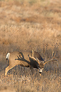 A gigantic non-typical mule deer buck casts a shadow with his huge antlers