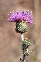Texas Thistle (Cirsium texanum), Austin County, Texas