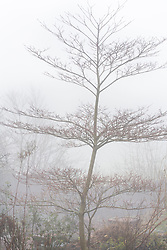 Tiered outline of Cornus controversa 'Variegata' on a foggy morning at Glebe Cottage. Dogwood