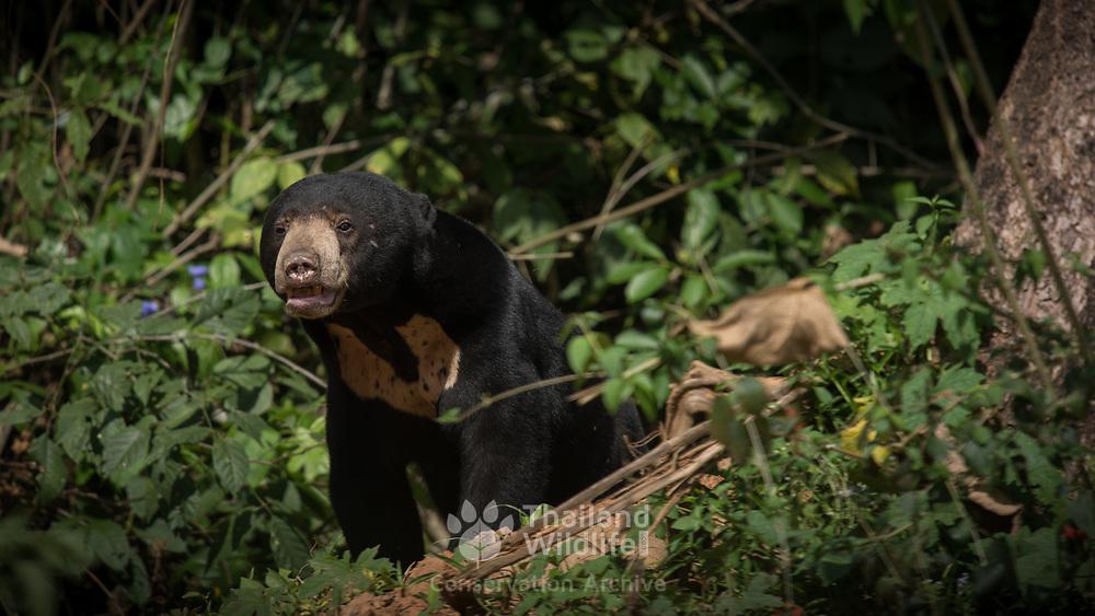 Sun Bear (Helarctos malayanus) in Kaeng Krachan national park, Thailand