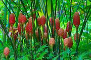 Beehive Ginger, Hawaii Tropical Botanical Garden, Hilo, Hamakua Coast, Big Island of Hawaii