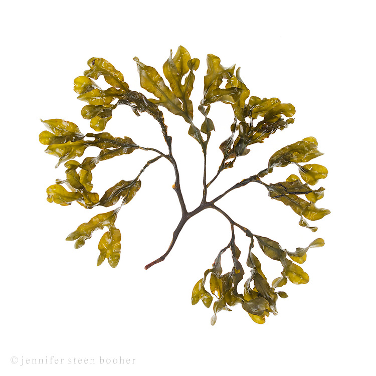 Fucus vesiculosus No.4; Bracy Cove, Maine
