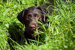 A Chocolate Brown Labrador lies and cools in a grass shaded stream of a local Park<br /> 16 Aug 2010 <br /> Images © Paul David Drabble