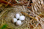 towhee nest bird egg sparrow ground
