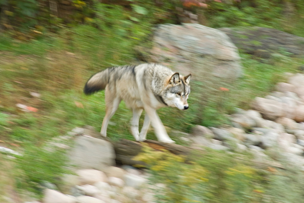 A timber wolf or gray wolf is scene at the International Wolf Center in Ely Minnesota.