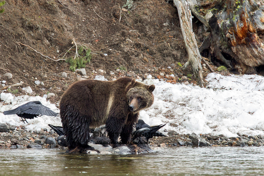 Grizzly Bear along the Yellowstone River eating a Carcass