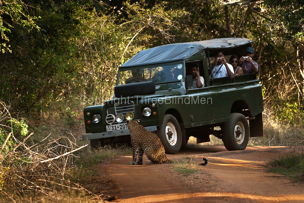 Leopard at Yala National Park and visitors in a Safari Jeep.