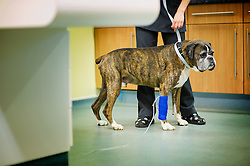 Boxer dog on a drip in the theatre at Rushcliffe Veterinary Surgery, Nottingham, UK.