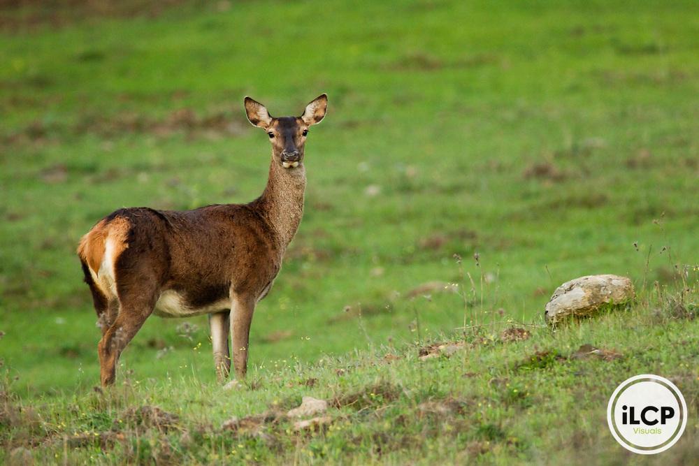 Iberian Red Deer (Cervus elaphus hispanicus) female, Sierra de Andujar Natural Park, Sierra de Andujar, Sierra Morena, Andalusia, Spain