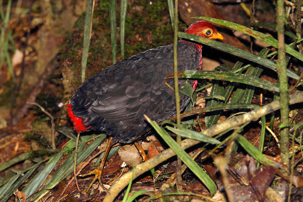 Crimson-headed Partridge, Haematortyx sanguiniceps, Mt Kinabalu, Borneo, Malaysia, by Adam Riley