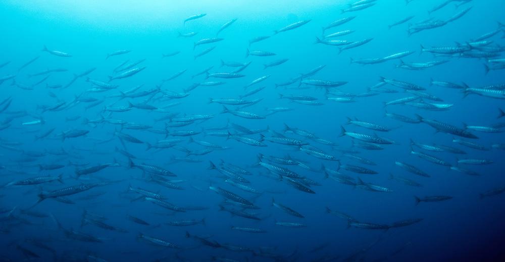 School of striped barracuda, Sphyraena viridensis, Pico, Azores, Portugal