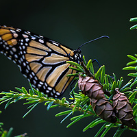 Butterfly photography from New England nature photographer Juergen Roth showing an eastern monarch in brilliant colors at The Gardens at Elm Bank in Wellesley, Massachusetts. Elm Bank is a beautiful outdoor area that features the garden, soccer fields and hiking trails along Charles River.<br />