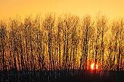 Aspen trees at sunset<br /> Melfort<br /> Saskatchewan<br /> Canada