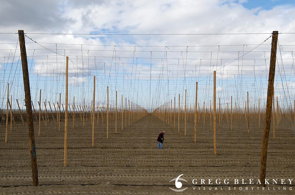 Migrant Worker tending hops field - Near Yakima - Washington State
