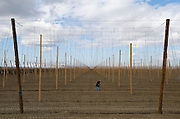 Migrant Worker tending hops field - Near Yakima - Washington State