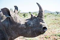 White Rhino Capture and Dehorning to prevent poaching, Phinda Private Game Reserve, KwaZulu Natal, South Africa