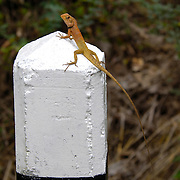 A Garden fence lizard, Calotes versicolor, on a roadway marking post.