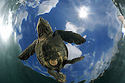 "As soon as it entered the water the young olive sea turtle (Lepidochelys olivacea) struggles against the swell to swim away from the coast. The so-called swimming frenzy lasts for approximately 48 hours to keep the hatchlings from being washed ashore. The turtles do not feed within the first days as they live on the reserves they acquired from the yolk in their eggs. The remains of the yolk sac can be seen as a ""belly button"" on the underside. The swimming hatchlings often fall prey to e.g. fregate birds or larger fish. 